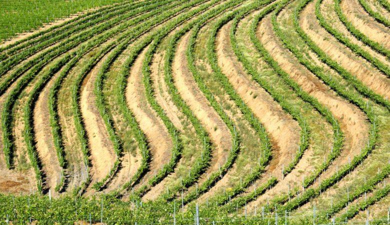 Os viñedos de Roandi están plantados sobre antigos xacementos de ouro de minas romanas