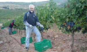 Rogelio Vidal apañando uvas no seu viñedo