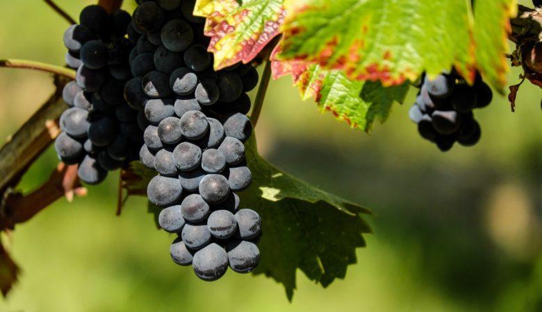 O Diario Oficial de Galicia publicou onte a Orde da Consellería do Medio Rural pola que se convocan estas axudas ao sector do viño