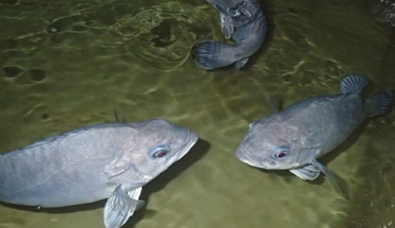 As chernas poden ser unha nova especie que teña cultivo en acuicultura