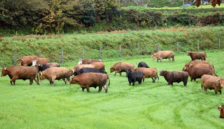 Exemplares das vacas da finca de Trasmonte (Ames)