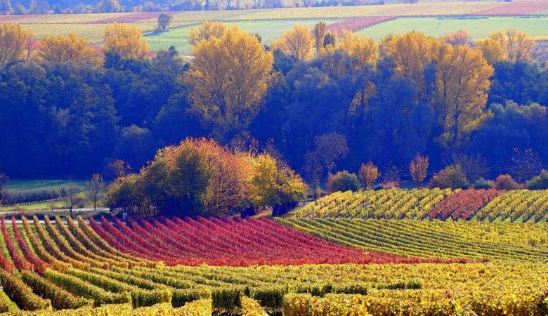 Cultivos vinícolas