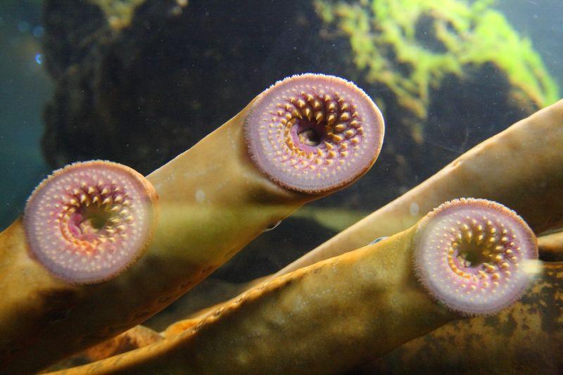 As lampreas son coñecidas como vampiros do mar