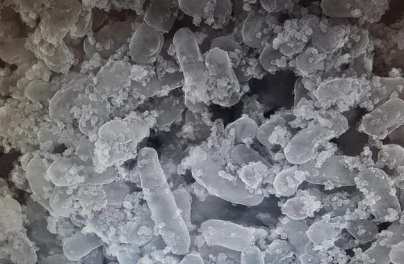 Bacteria da oliva de mesa, capaz de atrapar e eliminar metais pesados no intestino. / Foto: Fundación Descubre
