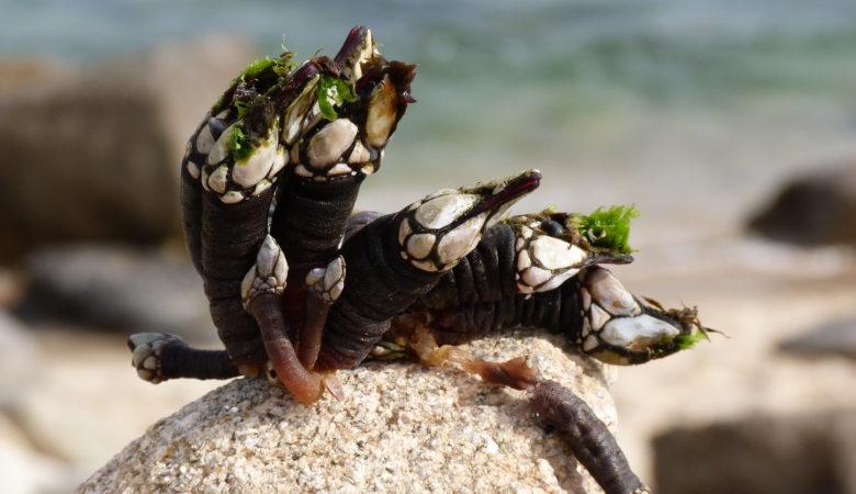 Moi poucas larvas de percebe regresan á rocha ou á zona da que saíron