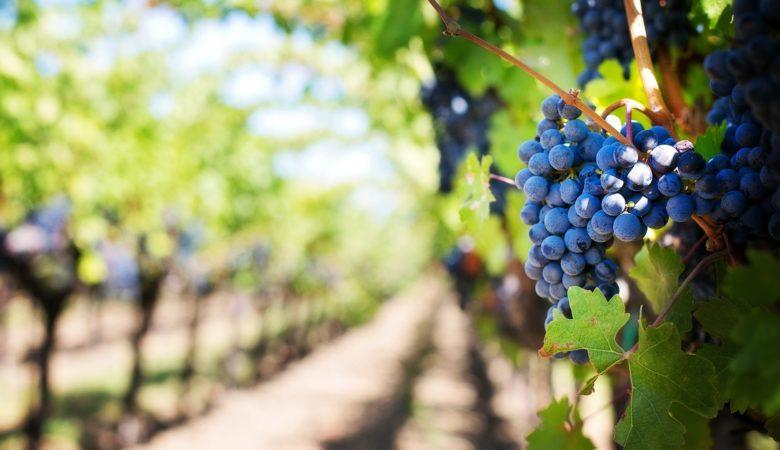Imaxe dun viñedo