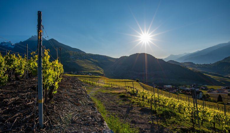 O cambio climático non queda claro se afectou xa os nosos viñedos, desde a Misión Biolóxica de Galicia aseguran que non