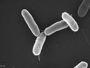 Salmonella typhimurium. Foto: Wikimedia Commons