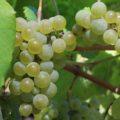 Uva da variedade de albariño.