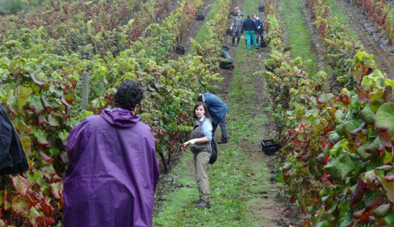 Carmen Martínez, da Misión Biolóxica de Galicia, analizando unha plantación de vides. Foto: CSIC.