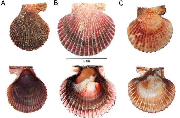 De esquerda a dereita e de arriba a abaixo, exterior e interior da zamburiña (A), vieira do Pacífico (B) e volandeira (C).