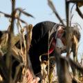 O audiovisual expón o caso do millo, un dos produtos viaxeiros máis emblemáticos da gastronomía galega