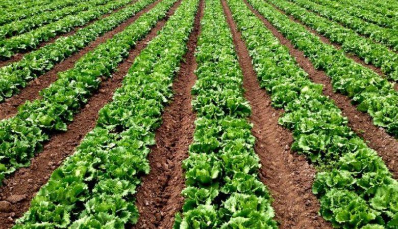 Plantación agroecolóxica. Foto: USC