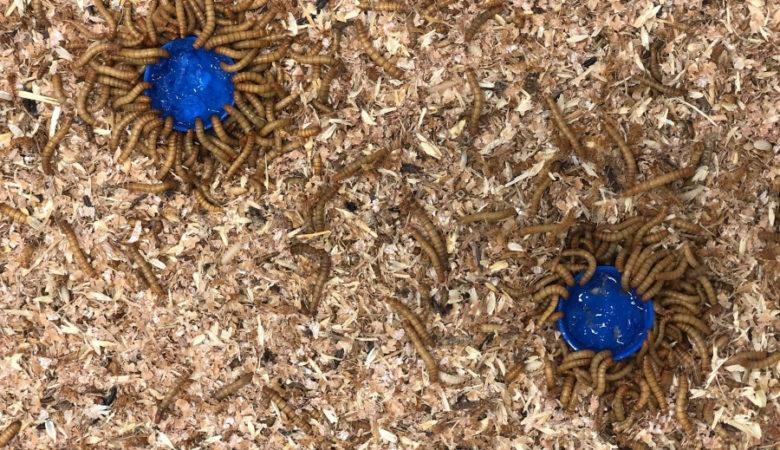 O proxecto Bioentonomy desenvolverá produtos con aplicación na agricultura a partir dos insectos alimentados con residuos agroindustriais. Foto: Bioga.
